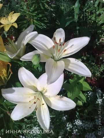 Вот такую красоту я вижу каждый день, выходя из дома! Обожаю лилии, они неприхотливы и потрясающе красивы. фото 8
