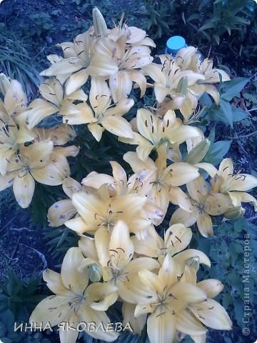 Вот такую красоту я вижу каждый день, выходя из дома! Обожаю лилии, они неприхотливы и потрясающе красивы. фото 10
