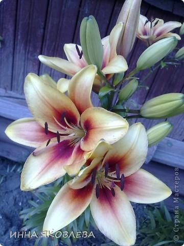 Вот такую красоту я вижу каждый день, выходя из дома! Обожаю лилии, они неприхотливы и потрясающе красивы. фото 1