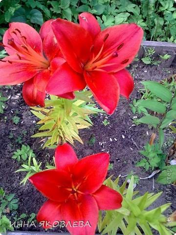 Вот такую красоту я вижу каждый день, выходя из дома! Обожаю лилии, они неприхотливы и потрясающе красивы. фото 11