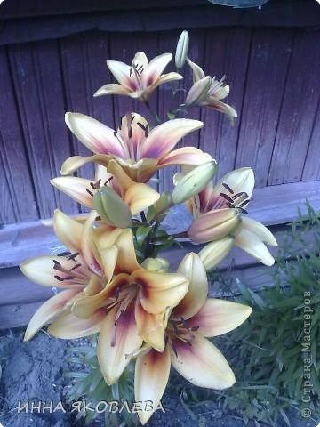 Вот такую красоту я вижу каждый день, выходя из дома! Обожаю лилии, они неприхотливы и потрясающе красивы. фото 9
