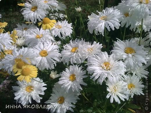 Вот такую красоту я вижу каждый день, выходя из дома! Обожаю лилии, они неприхотливы и потрясающе красивы. фото 12