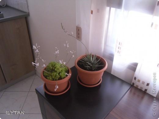 Мои цветочки на балконе. Цветок кактуса натуральный, очень твёрдый, примерно как очень твёрдый картон и засушить его непросто. Идёт борьба за жизнь. фото 6