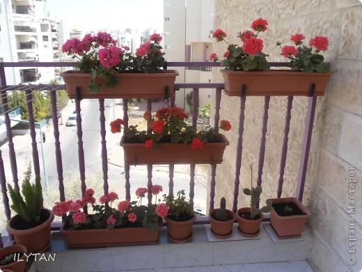 Мои цветочки на балконе. Цветок кактуса натуральный, очень твёрдый, примерно как очень твёрдый картон и засушить его непросто. Идёт борьба за жизнь. фото 7