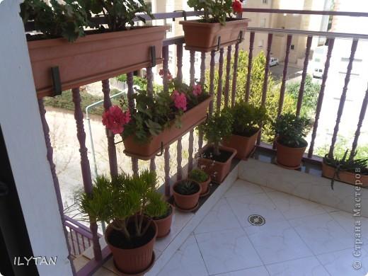 Мои цветочки на балконе. Цветок кактуса натуральный, очень твёрдый, примерно как очень твёрдый картон и засушить его непросто. Идёт борьба за жизнь. фото 8