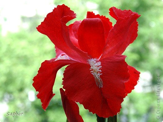 """За богатую окраску цветков назван в честь богини радуги - Ириды. По многообразию оттенков, изысканностью окраски и строения цветок ириса сравним с орхидеей, поэтому его называют """"орхидея сада"""". фото 13"""