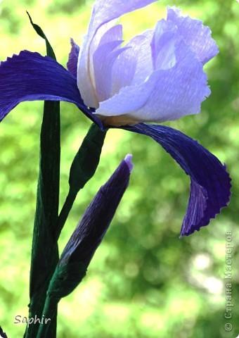 """За богатую окраску цветков назван в честь богини радуги - Ириды. По многообразию оттенков, изысканностью окраски и строения цветок ириса сравним с орхидеей, поэтому его называют """"орхидея сада"""". фото 4"""