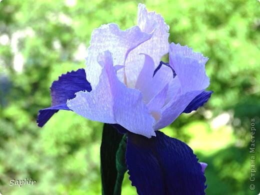 """За богатую окраску цветков назван в честь богини радуги - Ириды. По многообразию оттенков, изысканностью окраски и строения цветок ириса сравним с орхидеей, поэтому его называют """"орхидея сада"""". фото 6"""