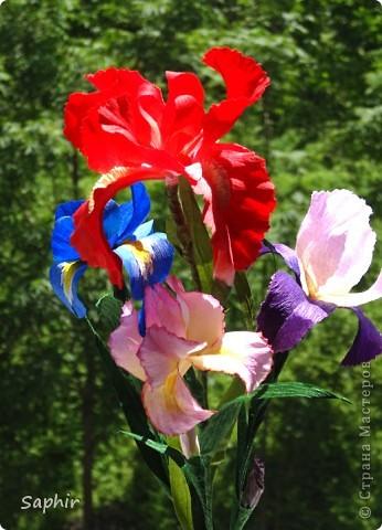 """За богатую окраску цветков назван в честь богини радуги - Ириды. По многообразию оттенков, изысканностью окраски и строения цветок ириса сравним с орхидеей, поэтому его называют """"орхидея сада"""". фото 1"""