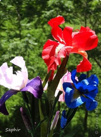 """За богатую окраску цветков назван в честь богини радуги - Ириды. По многообразию оттенков, изысканностью окраски и строения цветок ириса сравним с орхидеей, поэтому его называют """"орхидея сада"""". фото 15"""
