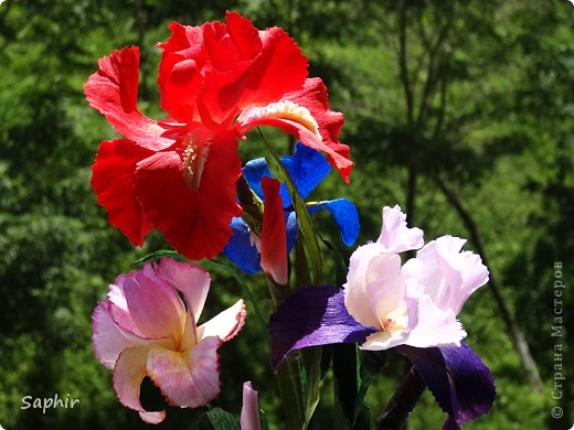 """За богатую окраску цветков назван в честь богини радуги - Ириды. По многообразию оттенков, изысканностью окраски и строения цветок ириса сравним с орхидеей, поэтому его называют """"орхидея сада"""". фото 16"""