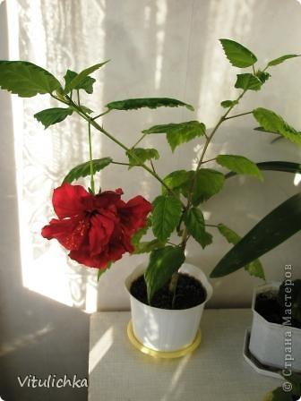 Поводом для этого поста послужил этот красавец. Вчера вечером распустились три белоснежных цветка на кактусе. Он цветет уже несколько лет. С апреля по сентябрь 3-6 раз, но всегда по одному цветку. И в мае этого года он уже трижды цвел. А пару недель назад я полила его каким-то удобрением для цветущих растений (маленький  пакетик папе дали в подарок при покупке удобрений на дачу, я даже название не пыталась запомнить), и вот результат Жаль только, что эта красота очень недолговечна, пройдут всего сутки, и цветки завянут. А пока мы любуемся!   фото 9