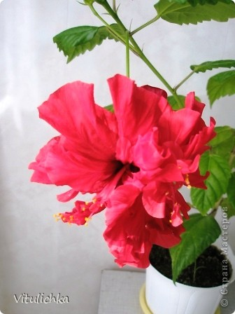 Поводом для этого поста послужил этот красавец. Вчера вечером распустились три белоснежных цветка на кактусе. Он цветет уже несколько лет. С апреля по сентябрь 3-6 раз, но всегда по одному цветку. И в мае этого года он уже трижды цвел. А пару недель назад я полила его каким-то удобрением для цветущих растений (маленький  пакетик папе дали в подарок при покупке удобрений на дачу, я даже название не пыталась запомнить), и вот результат Жаль только, что эта красота очень недолговечна, пройдут всего сутки, и цветки завянут. А пока мы любуемся!   фото 8