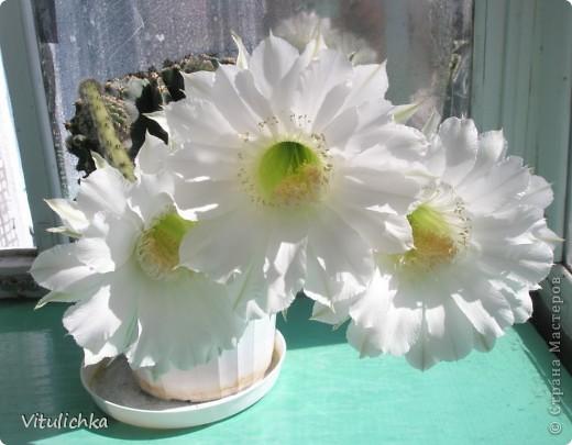 Поводом для этого поста послужил этот красавец. Вчера вечером распустились три белоснежных цветка на кактусе. Он цветет уже несколько лет. С апреля по сентябрь 3-6 раз, но всегда по одному цветку. И в мае этого года он уже трижды цвел. А пару недель назад я полила его каким-то удобрением для цветущих растений (маленький  пакетик папе дали в подарок при покупке удобрений на дачу, я даже название не пыталась запомнить), и вот результат Жаль только, что эта красота очень недолговечна, пройдут всего сутки, и цветки завянут. А пока мы любуемся!   фото 1