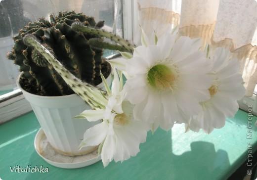 Поводом для этого поста послужил этот красавец. Вчера вечером распустились три белоснежных цветка на кактусе. Он цветет уже несколько лет. С апреля по сентябрь 3-6 раз, но всегда по одному цветку. И в мае этого года он уже трижды цвел. А пару недель назад я полила его каким-то удобрением для цветущих растений (маленький  пакетик папе дали в подарок при покупке удобрений на дачу, я даже название не пыталась запомнить), и вот результат Жаль только, что эта красота очень недолговечна, пройдут всего сутки, и цветки завянут. А пока мы любуемся!   фото 2