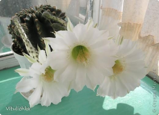 Поводом для этого поста послужил этот красавец. Вчера вечером распустились три белоснежных цветка на кактусе. Он цветет уже несколько лет. С апреля по сентябрь 3-6 раз, но всегда по одному цветку. И в мае этого года он уже трижды цвел. А пару недель назад я полила его каким-то удобрением для цветущих растений (маленький  пакетик папе дали в подарок при покупке удобрений на дачу, я даже название не пыталась запомнить), и вот результат Жаль только, что эта красота очень недолговечна, пройдут всего сутки, и цветки завянут. А пока мы любуемся!   фото 3