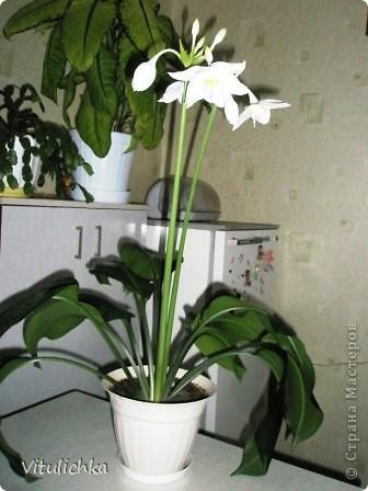 Поводом для этого поста послужил этот красавец. Вчера вечером распустились три белоснежных цветка на кактусе. Он цветет уже несколько лет. С апреля по сентябрь 3-6 раз, но всегда по одному цветку. И в мае этого года он уже трижды цвел. А пару недель назад я полила его каким-то удобрением для цветущих растений (маленький  пакетик папе дали в подарок при покупке удобрений на дачу, я даже название не пыталась запомнить), и вот результат Жаль только, что эта красота очень недолговечна, пройдут всего сутки, и цветки завянут. А пока мы любуемся!   фото 6