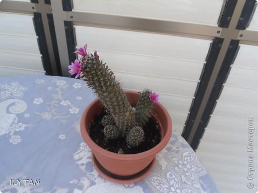 Этот кактус был совсем маленьким, как его детки, когда зацвёл первый раз. Этим летом он уже был весь в цветах, а сейчас снова зацвёл. фото 1
