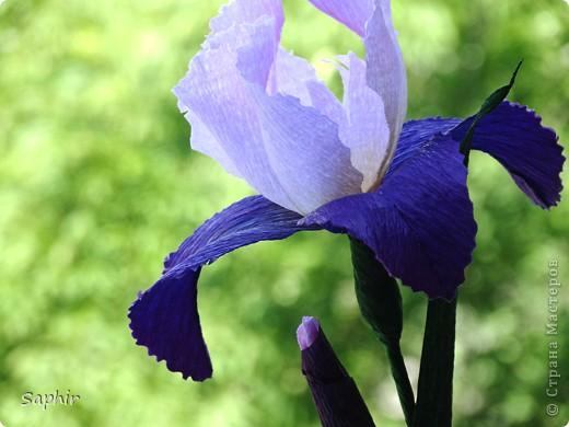 """За богатую окраску цветков назван в честь богини радуги - Ириды. По многообразию оттенков, изысканностью окраски и строения цветок ириса сравним с орхидеей, поэтому его называют """"орхидея сада"""". фото 5"""