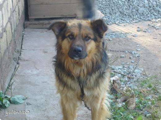 Доброго дня всем жителям СМ! Вчера я познакомила вас с нашим котом Максом http://stranamasterov.ru/node/396715 , а сегодня хочется представить вам нашего пёсика. Зовут Тайгер. Здесь он еще малыш, только появился у нас.  фото 3