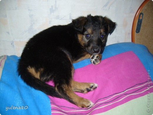 Доброго дня всем жителям СМ! Вчера я познакомила вас с нашим котом Максом http://stranamasterov.ru/node/396715 , а сегодня хочется представить вам нашего пёсика. Зовут Тайгер. Здесь он еще малыш, только появился у нас.  фото 1