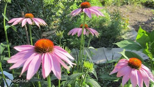 Всем привет и добро пожаловать в царство моей второй мамы!  Очень люблю в СМ смотреть фоторепортажи с цветами, выращенными на дачах наших мастериц. Эти цветы - не моя заслуга, они все посажены и взращены трудолюбивыми ручками моей свекрови.  И пока муж занимался поливкой, я устроила цветочкам небольшую фотосессию - ведь цветы и созданы для того, чтобы ими любоваться!  Желаю приятного просмотра и солнечно-летнего настроения! фото 3