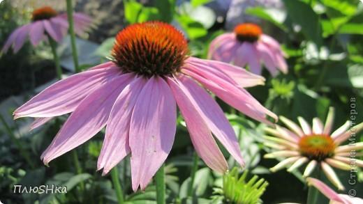 Всем привет и добро пожаловать в царство моей второй мамы!  Очень люблю в СМ смотреть фоторепортажи с цветами, выращенными на дачах наших мастериц. Эти цветы - не моя заслуга, они все посажены и взращены трудолюбивыми ручками моей свекрови.  И пока муж занимался поливкой, я устроила цветочкам небольшую фотосессию - ведь цветы и созданы для того, чтобы ими любоваться!  Желаю приятного просмотра и солнечно-летнего настроения! фото 4
