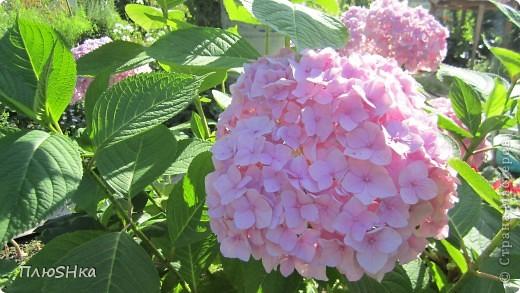 Всем привет и добро пожаловать в царство моей второй мамы!  Очень люблю в СМ смотреть фоторепортажи с цветами, выращенными на дачах наших мастериц. Эти цветы - не моя заслуга, они все посажены и взращены трудолюбивыми ручками моей свекрови.  И пока муж занимался поливкой, я устроила цветочкам небольшую фотосессию - ведь цветы и созданы для того, чтобы ими любоваться!  Желаю приятного просмотра и солнечно-летнего настроения! фото 12