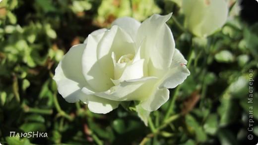 Всем привет и добро пожаловать в царство моей второй мамы!  Очень люблю в СМ смотреть фоторепортажи с цветами, выращенными на дачах наших мастериц. Эти цветы - не моя заслуга, они все посажены и взращены трудолюбивыми ручками моей свекрови.  И пока муж занимался поливкой, я устроила цветочкам небольшую фотосессию - ведь цветы и созданы для того, чтобы ими любоваться!  Желаю приятного просмотра и солнечно-летнего настроения! фото 14