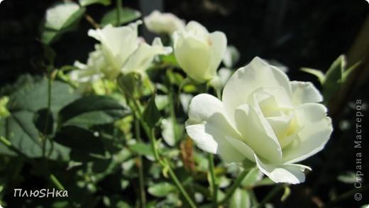 Всем привет и добро пожаловать в царство моей второй мамы!  Очень люблю в СМ смотреть фоторепортажи с цветами, выращенными на дачах наших мастериц. Эти цветы - не моя заслуга, они все посажены и взращены трудолюбивыми ручками моей свекрови.  И пока муж занимался поливкой, я устроила цветочкам небольшую фотосессию - ведь цветы и созданы для того, чтобы ими любоваться!  Желаю приятного просмотра и солнечно-летнего настроения! фото 15