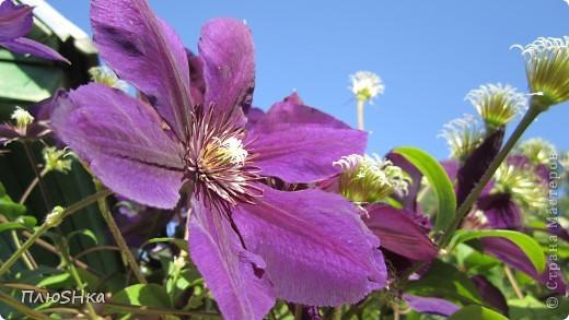 Всем привет и добро пожаловать в царство моей второй мамы!  Очень люблю в СМ смотреть фоторепортажи с цветами, выращенными на дачах наших мастериц. Эти цветы - не моя заслуга, они все посажены и взращены трудолюбивыми ручками моей свекрови.  И пока муж занимался поливкой, я устроила цветочкам небольшую фотосессию - ведь цветы и созданы для того, чтобы ими любоваться!  Желаю приятного просмотра и солнечно-летнего настроения! фото 16