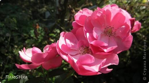 Всем привет и добро пожаловать в царство моей второй мамы!  Очень люблю в СМ смотреть фоторепортажи с цветами, выращенными на дачах наших мастериц. Эти цветы - не моя заслуга, они все посажены и взращены трудолюбивыми ручками моей свекрови.  И пока муж занимался поливкой, я устроила цветочкам небольшую фотосессию - ведь цветы и созданы для того, чтобы ими любоваться!  Желаю приятного просмотра и солнечно-летнего настроения! фото 19