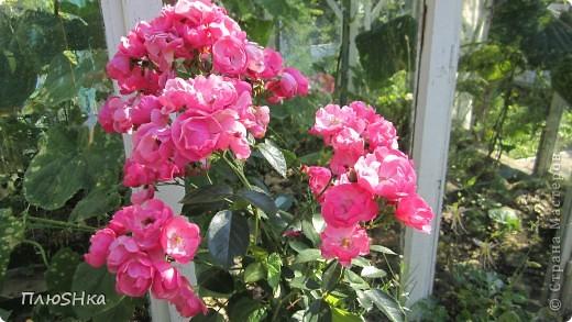 Всем привет и добро пожаловать в царство моей второй мамы!  Очень люблю в СМ смотреть фоторепортажи с цветами, выращенными на дачах наших мастериц. Эти цветы - не моя заслуга, они все посажены и взращены трудолюбивыми ручками моей свекрови.  И пока муж занимался поливкой, я устроила цветочкам небольшую фотосессию - ведь цветы и созданы для того, чтобы ими любоваться!  Желаю приятного просмотра и солнечно-летнего настроения! фото 18