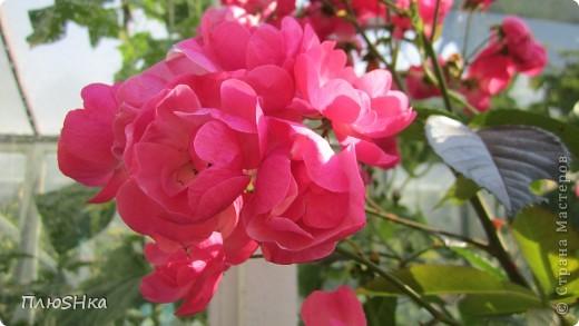 Всем привет и добро пожаловать в царство моей второй мамы!  Очень люблю в СМ смотреть фоторепортажи с цветами, выращенными на дачах наших мастериц. Эти цветы - не моя заслуга, они все посажены и взращены трудолюбивыми ручками моей свекрови.  И пока муж занимался поливкой, я устроила цветочкам небольшую фотосессию - ведь цветы и созданы для того, чтобы ими любоваться!  Желаю приятного просмотра и солнечно-летнего настроения! фото 20
