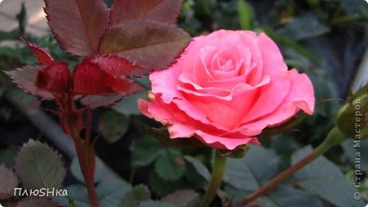 Всем привет и добро пожаловать в царство моей второй мамы!  Очень люблю в СМ смотреть фоторепортажи с цветами, выращенными на дачах наших мастериц. Эти цветы - не моя заслуга, они все посажены и взращены трудолюбивыми ручками моей свекрови.  И пока муж занимался поливкой, я устроила цветочкам небольшую фотосессию - ведь цветы и созданы для того, чтобы ими любоваться!  Желаю приятного просмотра и солнечно-летнего настроения! фото 24