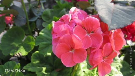 Всем привет и добро пожаловать в царство моей второй мамы!  Очень люблю в СМ смотреть фоторепортажи с цветами, выращенными на дачах наших мастериц. Эти цветы - не моя заслуга, они все посажены и взращены трудолюбивыми ручками моей свекрови.  И пока муж занимался поливкой, я устроила цветочкам небольшую фотосессию - ведь цветы и созданы для того, чтобы ими любоваться!  Желаю приятного просмотра и солнечно-летнего настроения! фото 26