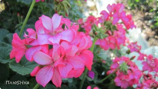 Всем привет и добро пожаловать в царство моей второй мамы!  Очень люблю в СМ смотреть фоторепортажи с цветами, выращенными на дачах наших мастериц. Эти цветы - не моя заслуга, они все посажены и взращены трудолюбивыми ручками моей свекрови.  И пока муж занимался поливкой, я устроила цветочкам небольшую фотосессию - ведь цветы и созданы для того, чтобы ими любоваться!  Желаю приятного просмотра и солнечно-летнего настроения! фото 28