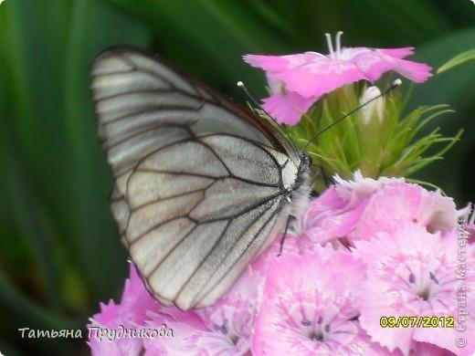 Бабочка будто специально позировала, ходила туда-сюда, дождалась, пока я за фотоаппаратом схожу.  фото 1