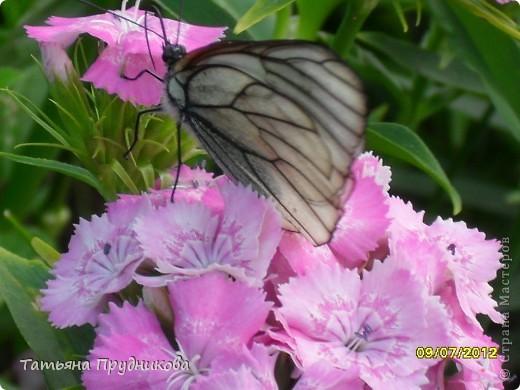 Бабочка будто специально позировала, ходила туда-сюда, дождалась, пока я за фотоаппаратом схожу.  фото 2
