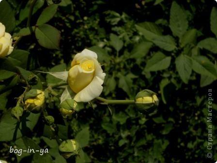 Как я уже писала, в связи с болезнью внуков, жила я за городом, в доме старшей дочери. Творчеством занималась http://stranamasterov.ru/node/398854, http://stranamasterov.ru/node/398848, да и в сад-огород похаживала, когда появлялось свободное время.  Поспел поздний урюк. фото 31
