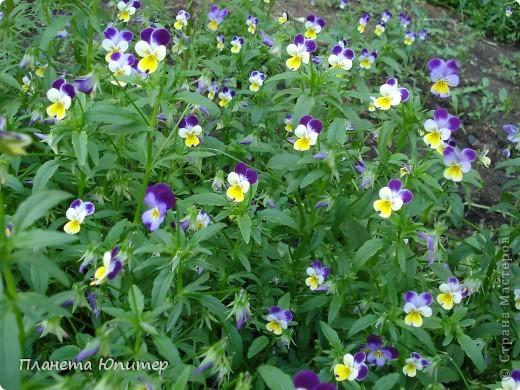 Цветы моего двора фото 1