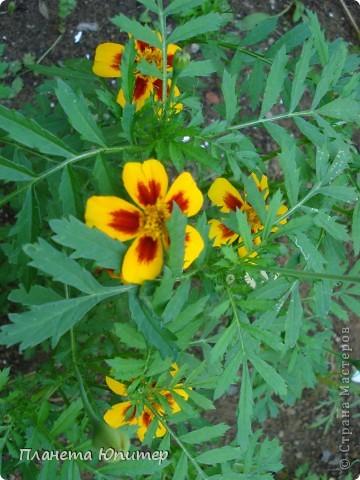 Цветы моего двора фото 2