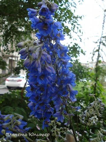 Цветы моего двора фото 3