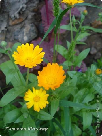 Цветы моего двора фото 4