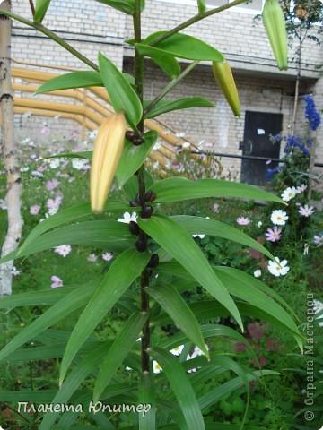 Цветы моего двора фото 10