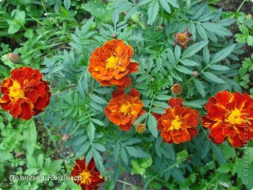 Цветы моего двора фото 11