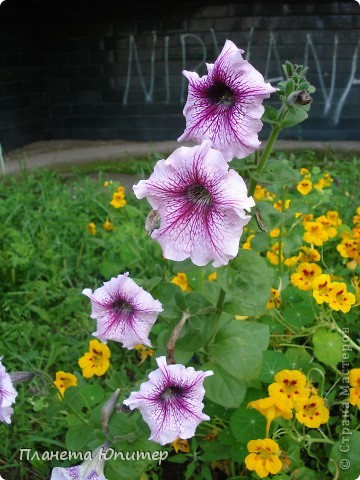 Цветы моего двора фото 13