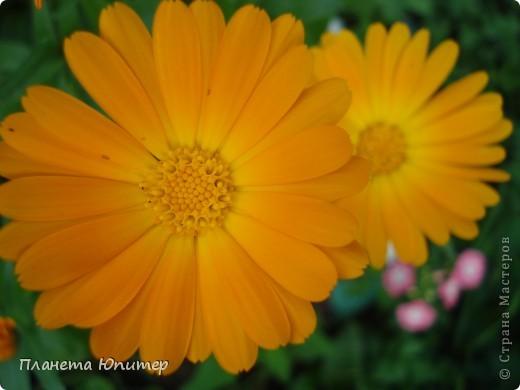 Цветы моего двора фото 16
