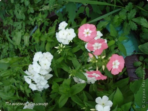 Цветы моего двора фото 17