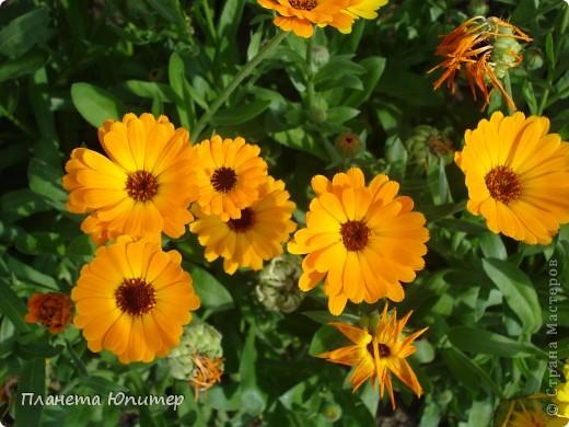 Цветы моего двора фото 21